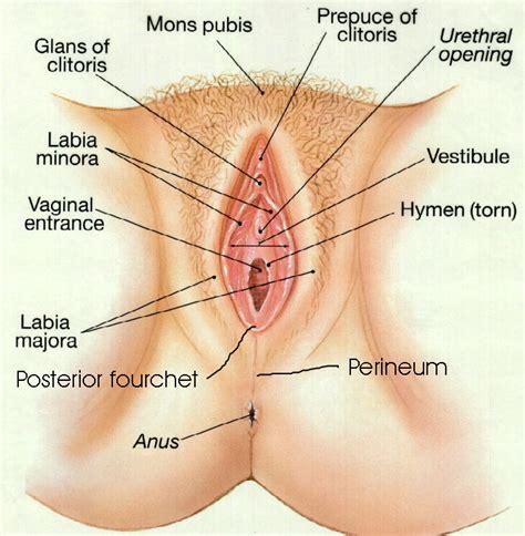 diagram of a womens pussy jpg 730x746